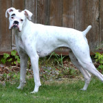black boxer dogs: white boxer