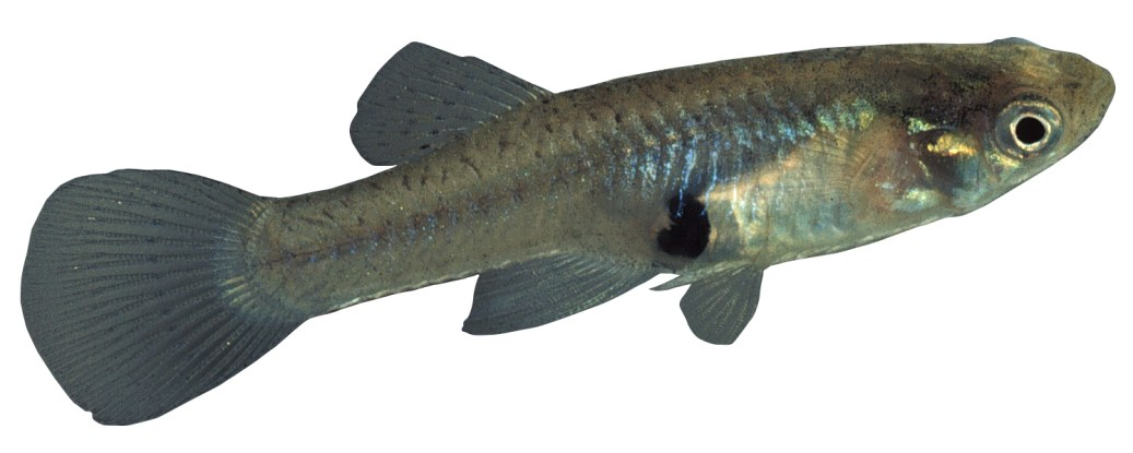 Gambusia or Mosquitofish: Declared noxious fish