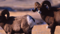 Desert Ram Types & Description