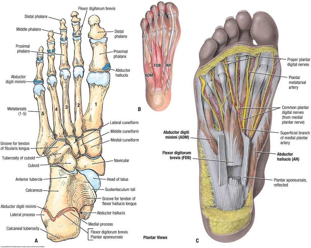 medium resolution of foot region anatomy diagram wiring diagram expertfoot region anatomy diagram 11