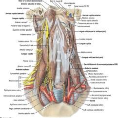 Nerves In Neck And Shoulder Diagram Cellular Phone Tower Signal Duke Anatomy Lab 21 Carotid Sheath Atlas Images