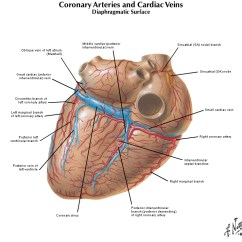 Heart Diagram Coronary Sinus Human Digestive Tract Duke Anatomy - Lab 3: Ventral Thoracic Body Wall &