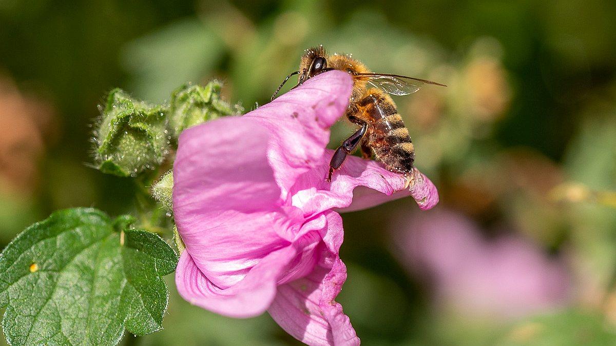 Bienen beim Abfliegen