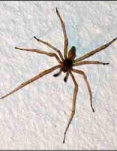 Spiders commonly found in houses susan masta portland state university also rh web pdx