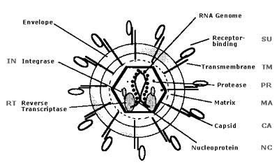 The Structure of the Retrovirus