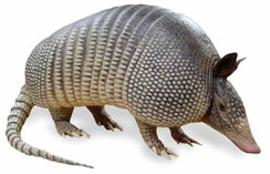 β catenin armadillo the