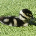 Duckling and duckweed