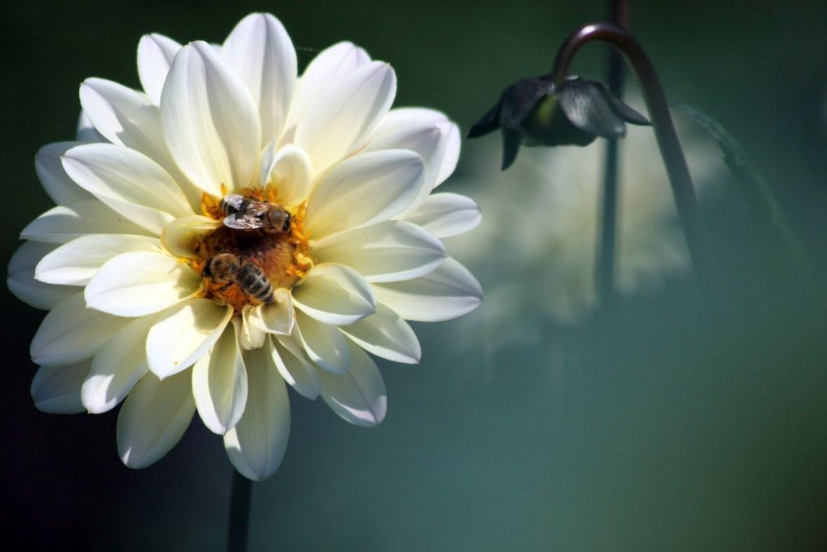 Ein Bienenmagnet sind die Dahlienblüten im Ufergarten. Foto: Julia Marre