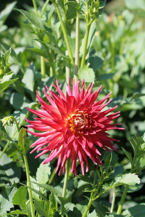 "16 Zentimeter groß ist die Blüte der Sorte ""Engelhardts Koralle"". Foto: Julia Marre"