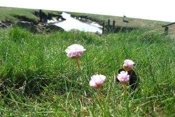 Drüben auf dem Hügel: Blumen auf der Hallig Nordstrandischmoor. Foto: Julia Marre