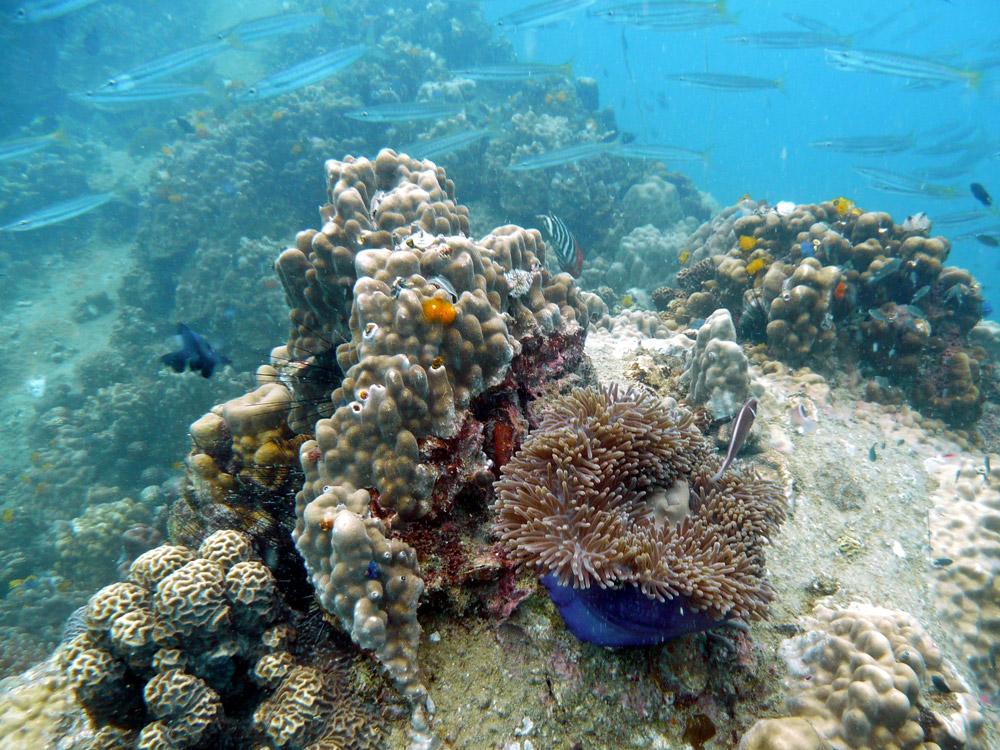 Koh-Tao-corals-anemone-and-xmas-tree-worms