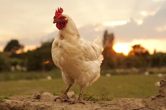 maquina-peladora-de-pollos-hecha-en-casa