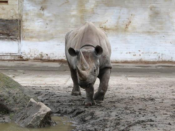 El rinoceronte negro de África oficialmente extinto - rinoceronte-negro-extinto