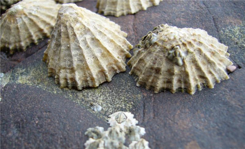 Descubren material natural más fuerte que la tela de arañas - dientes-de-lapas