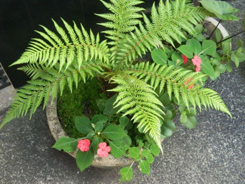 ¿Cansado del calor? 5 plantas que absorben el calor y purifican el aire de tu casa - helecho-800x600