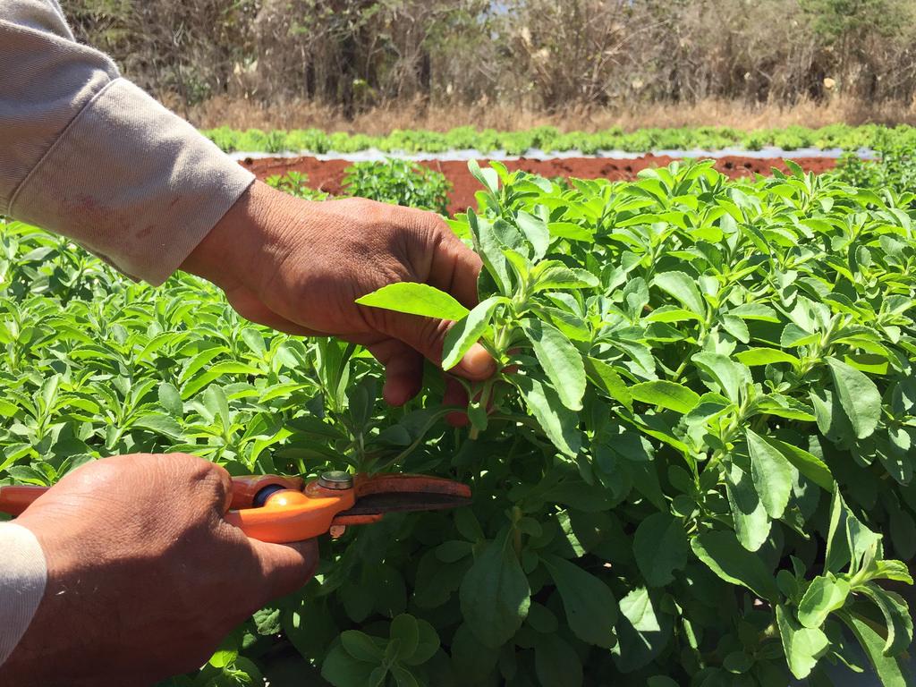 Destaca científica mexicana las rentables ventajas de cultivar estevia en el país - ventajas-de-cultivar-estevia