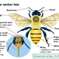 Bumble Bee Diagram Opel Astra G Radio Wiring Control – Webb Pest