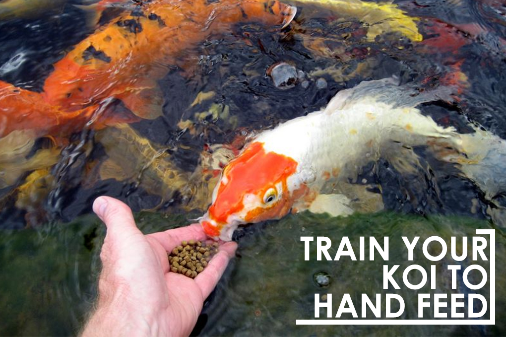 train your koi to