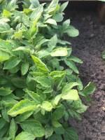 Foto van aardappels in de moestuin om het verschil tussen de bladeren te laten zien tussen de verschillende rassen