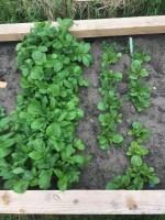 Foto van aardappels in de moestuin in mei