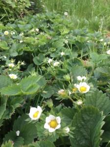 Aardbeien in bloei in de moestuin