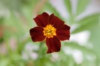 Foto van de bloem van de plant afrikaantje