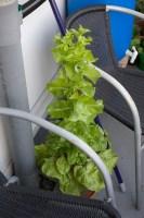 Foto van een doorgeschoten sla plant