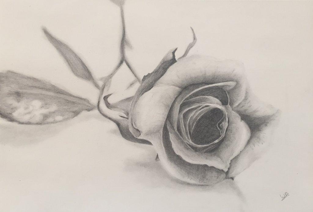 Tekening van een gevallen roos