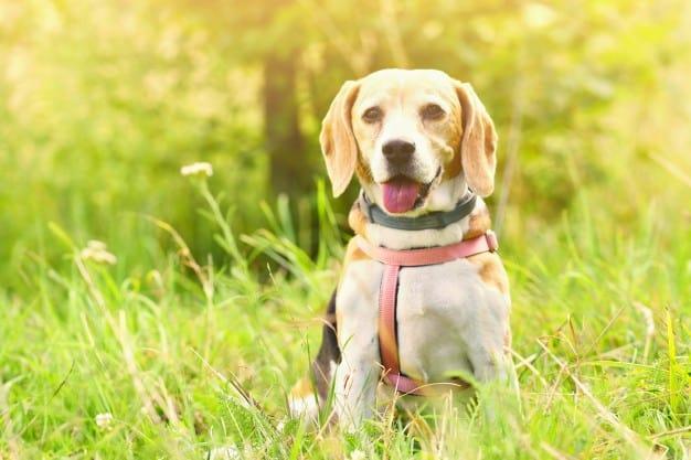 Beagle sentado na grama com a língua de fora