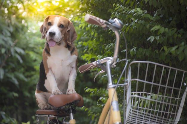 Beagle sentado na garupa da bicicleta