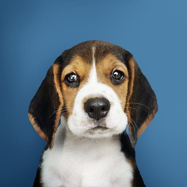 Beagle com uma cara triste