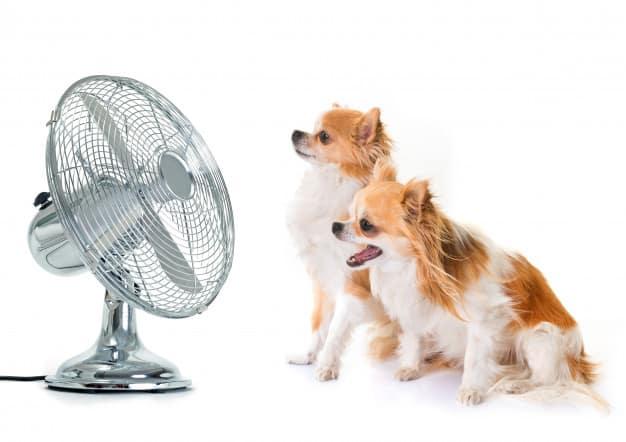 Dois Chihuahua olhando pro ventilador
