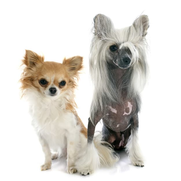 Dois Chinese Crested Dog olhado para a foto