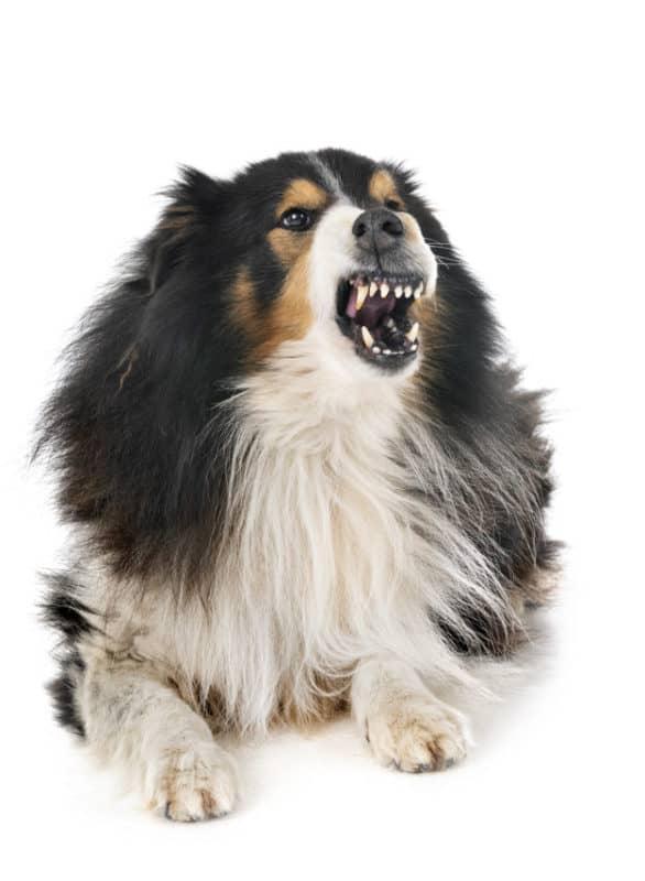 Cachorro com a boca aberta