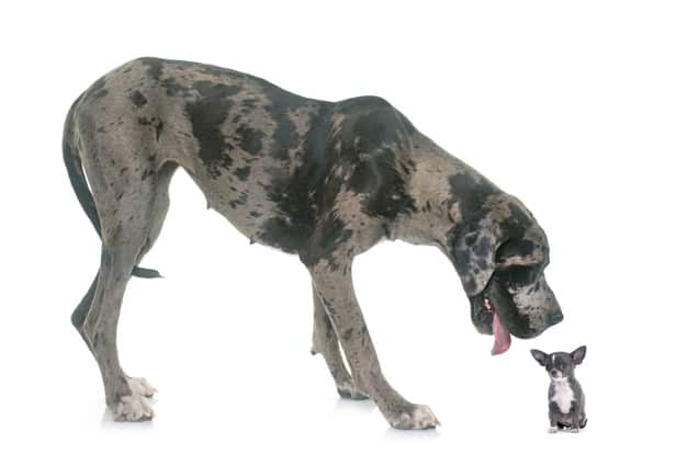 Dogue Alemão e um cachorrinho em fundo branco