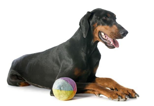 Doberman deitado com uma bola em fundo branco