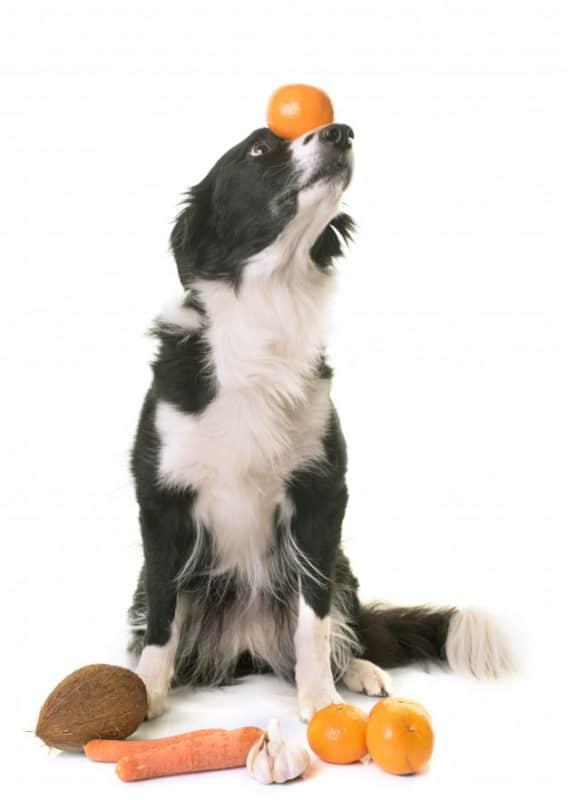 Cachorro equilibrando a fruta em fundo branco