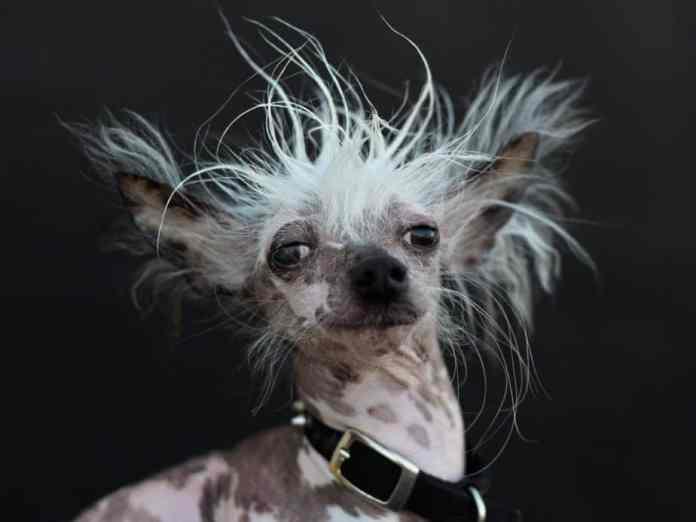 cachorros mais feios do mundo