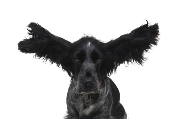 Cães surdos: Saiba como lidar e se comunicar