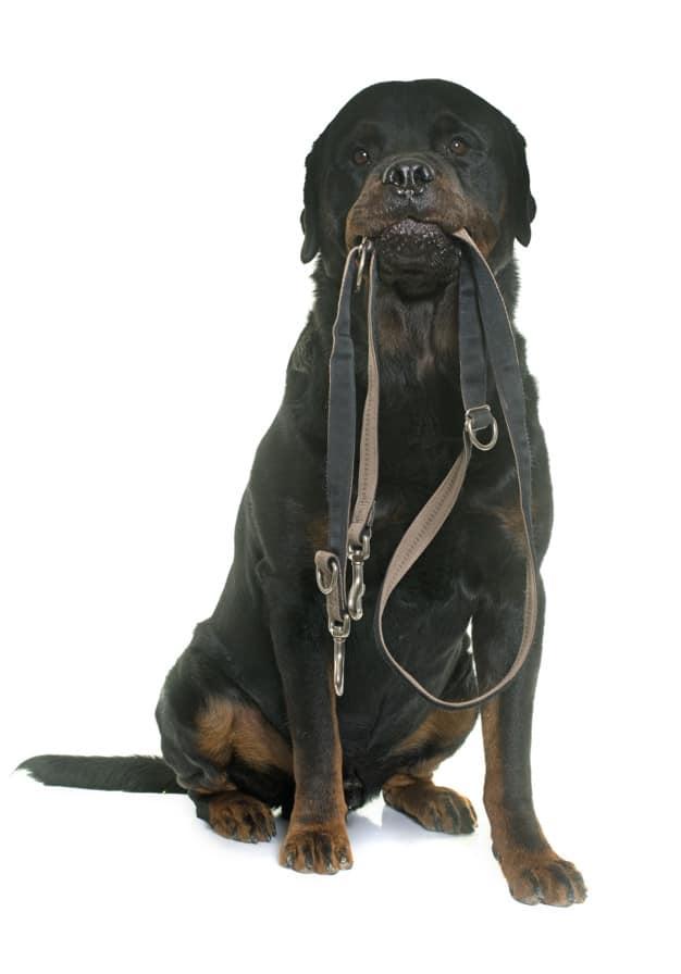 Saiba como agir caso seu cão se solte da coleira