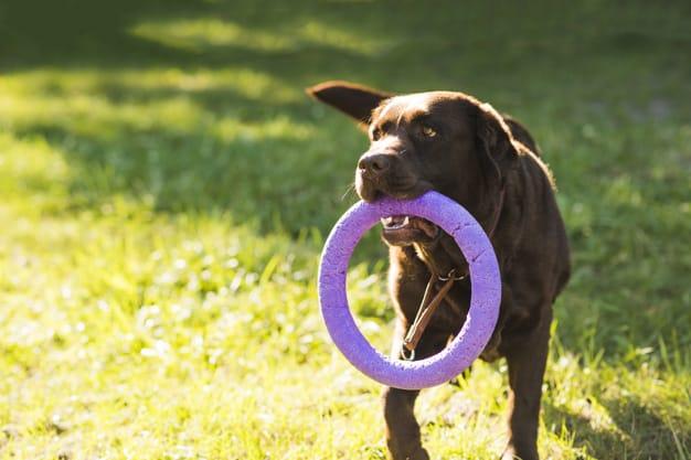 Como ensinar o cão a morder apenas o brinquedo