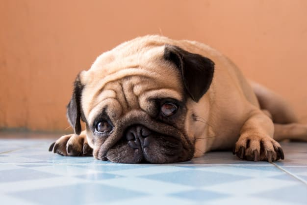 Pug deitado no piso