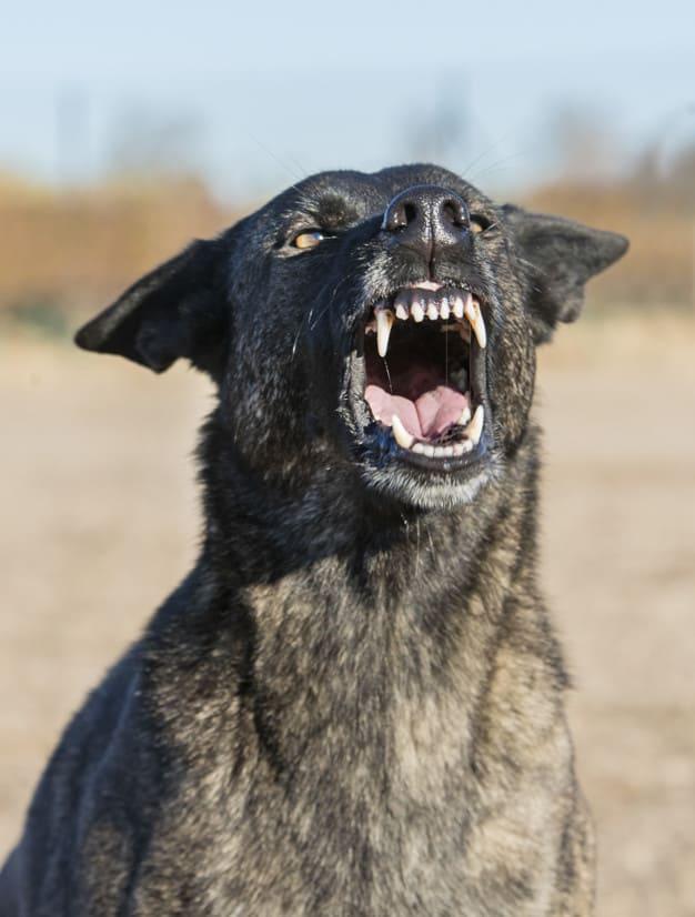 Por que alguns cães mordem pessoas conhecidas?