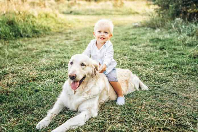 Cachorro fofo golden retriever brincando criança