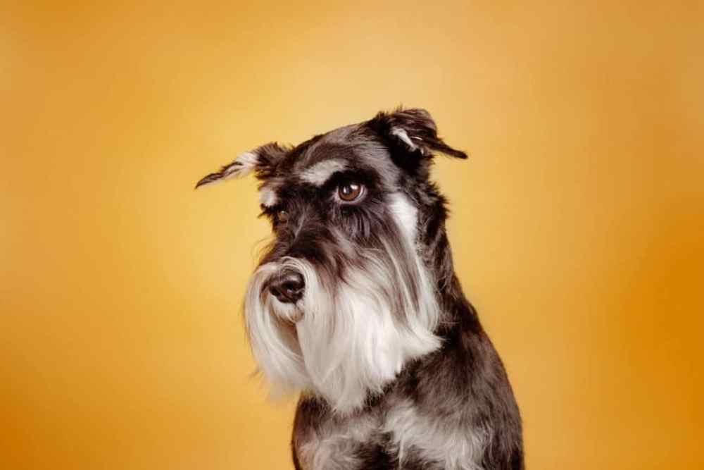 Schnauzer cachorro em fundo laranja