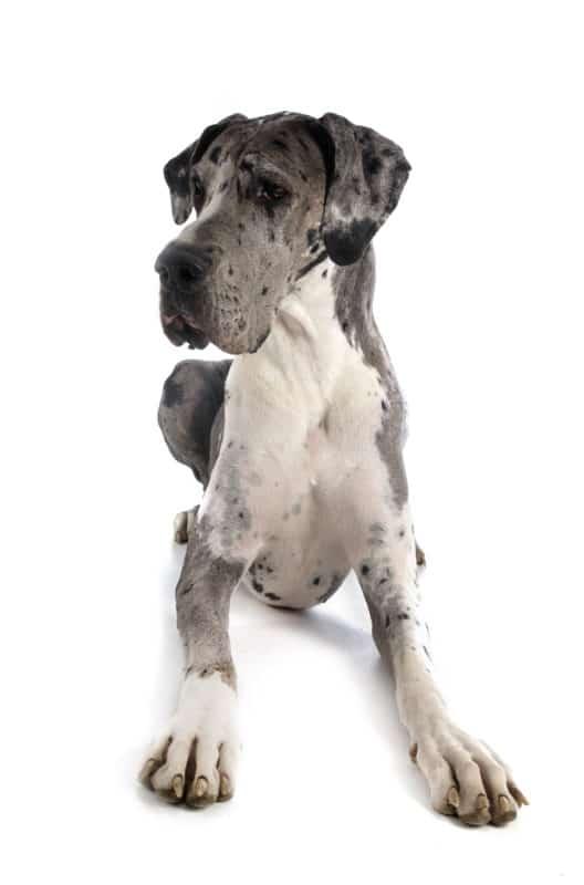 Cachorro dogue alemão adulto deitado