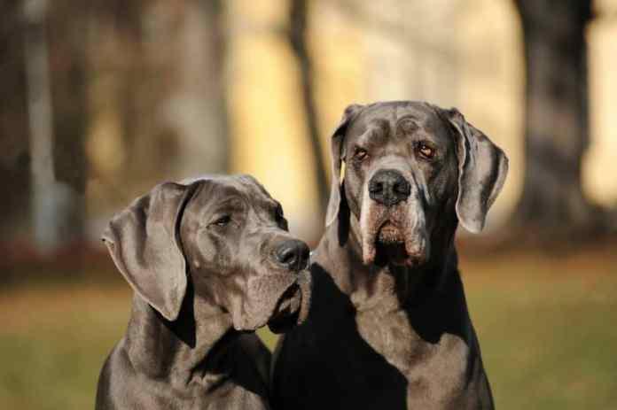 Dois cachorros Dogue Alemão adultos em um parque