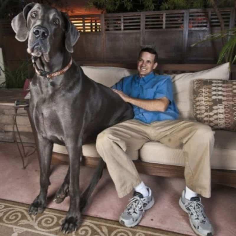 Zeus, maior cachorro do mundo, sentado com seu tutor em sofá