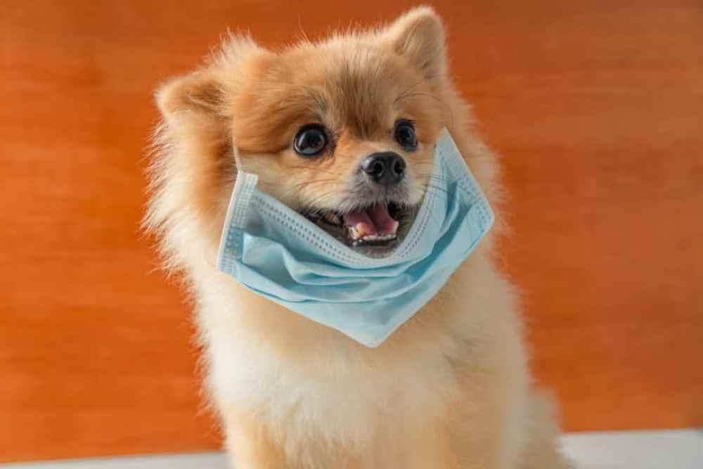 Cachorro com máscara devido a coronavírus