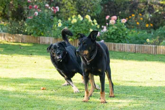 Cães do tipo pastores se exercitando herding esportes caninos